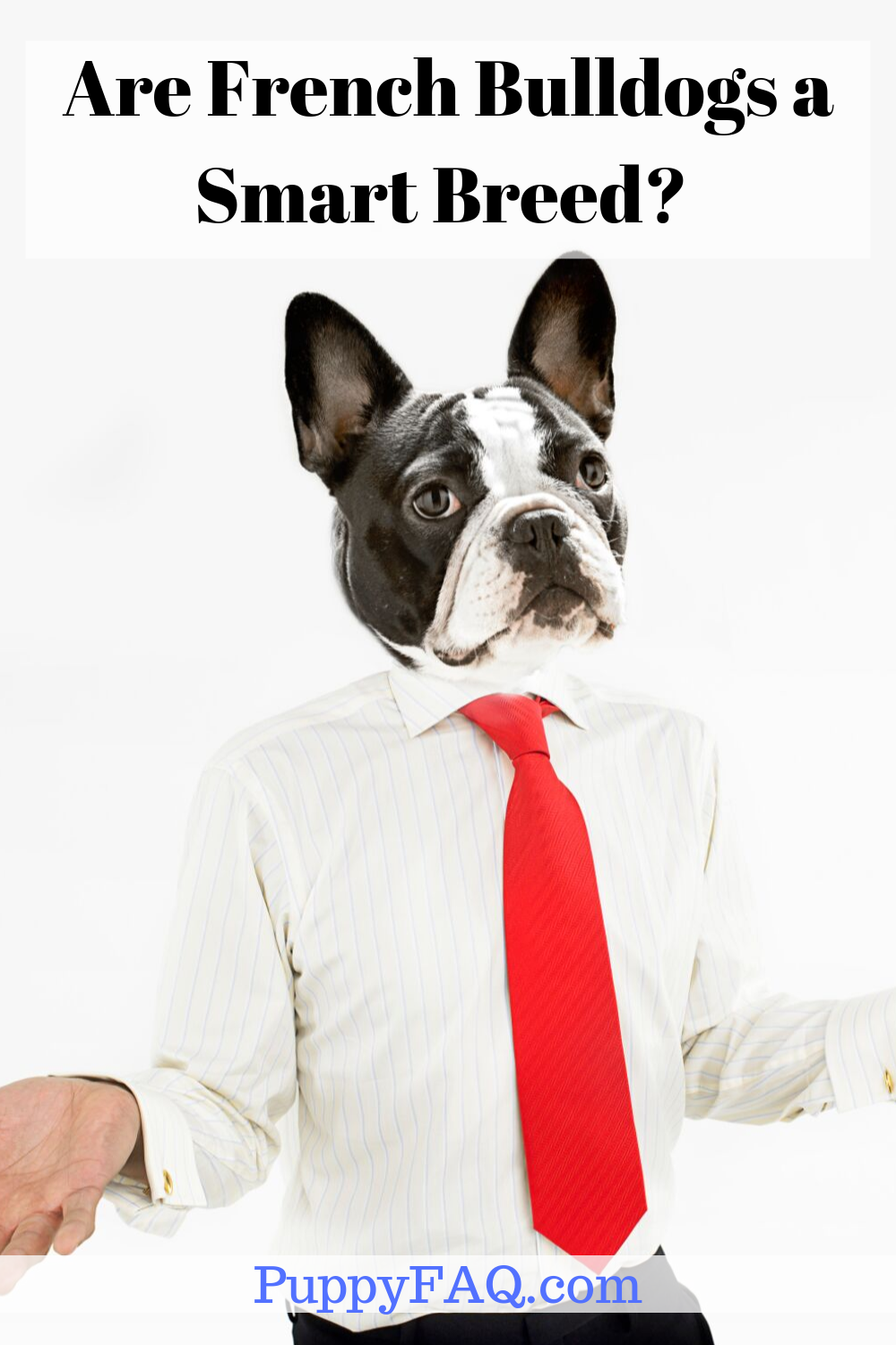 Are French Bulldogs a Smart Breed? (Facts + Video