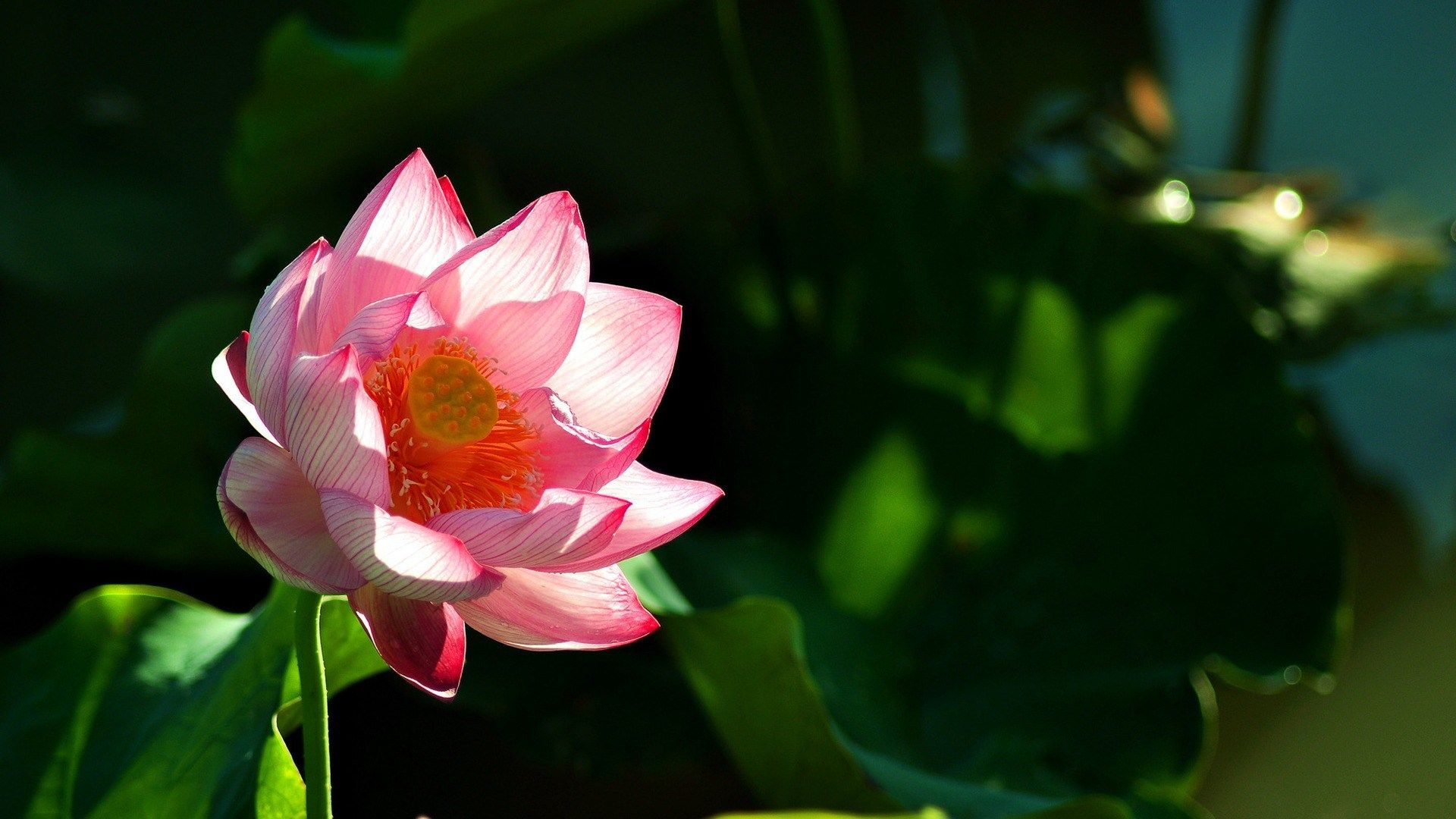 Lotus Flower Background Bzwallpapers Pinterest Backgrounds