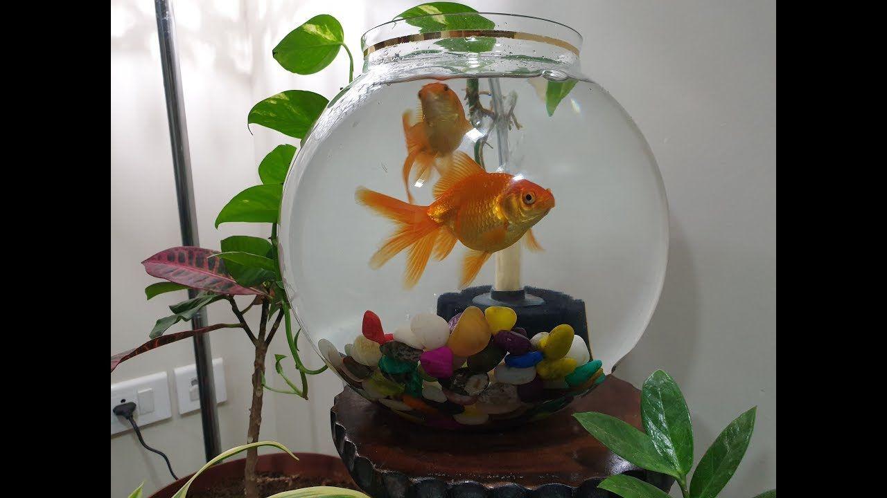 Keeping Goldfish In Fish Bowl With Bio Sponge Filter Fish Bowl Goldfish Pet Fish