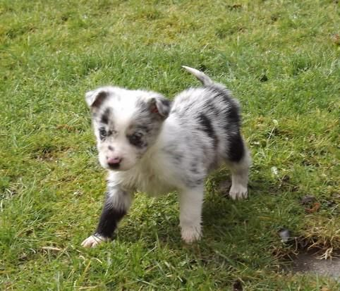 Looking For A Stunning Blue Red Merle Border Collie Female Pup To Join Our Family That Will B Border Collie Blue Merle Red Merle Border Collie Dogs And Puppies