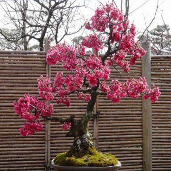 Japanese Oriental Cherry Blossom Sakura Bonsai T4 Red 20 Seeds Import Japan Cherry Blossom Bonsai Tree Bonsai Japanese Bonsai