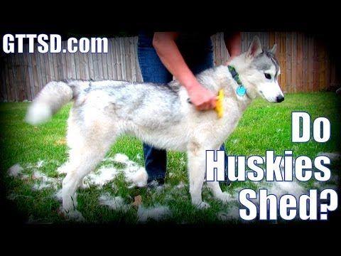 How Much Do Huskies Shed Furminator Siberian Husky Youtube