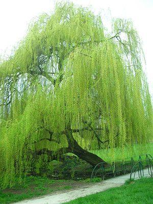 O oeste Bois de Boulogne de Paris abriga muitas variedades de árvores, incluindo o salgueiro-chorão.
