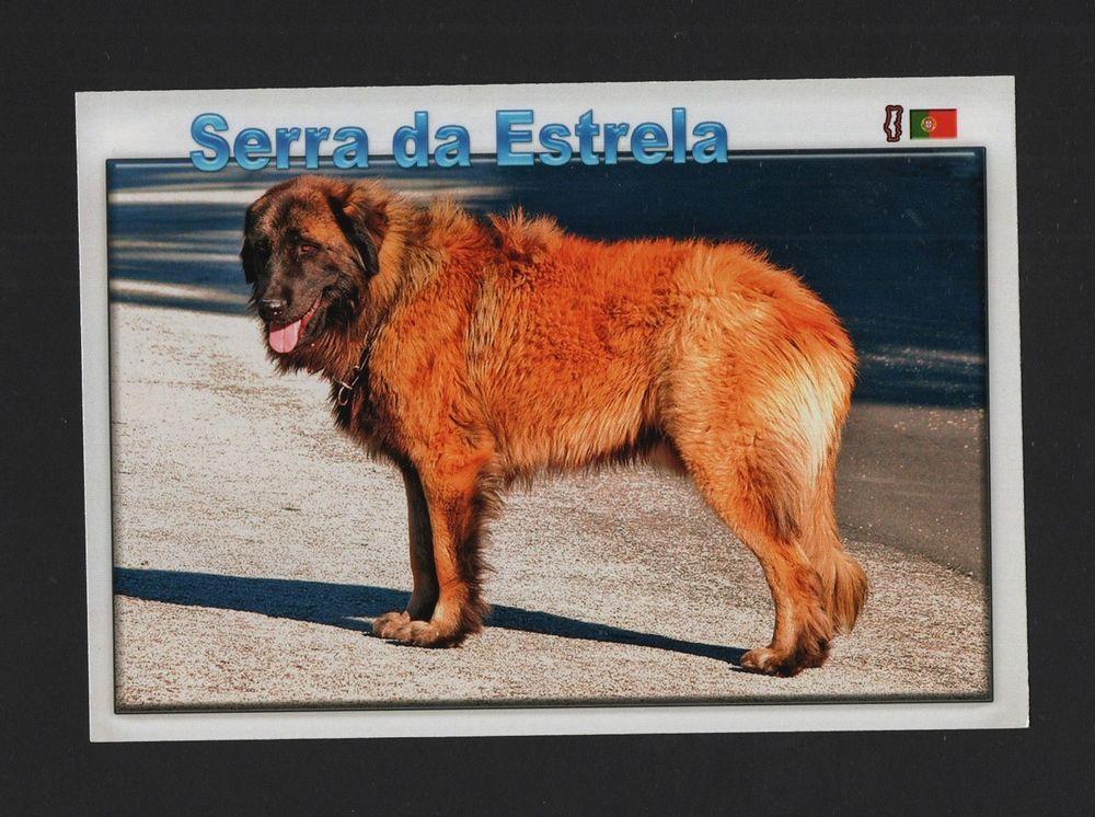 POSTCARD DOG SERRA DA ESTRELA MOUNTAIN DOGS PORTUGAL  CHIENS PERROS Z1