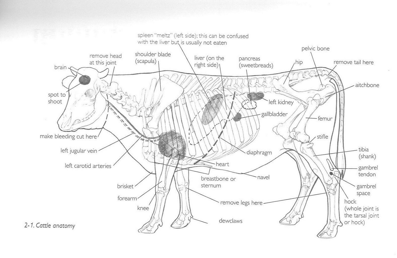 cow stomach, cow skeleton, stomach diagram, scapula, bones, mammals,  sketches