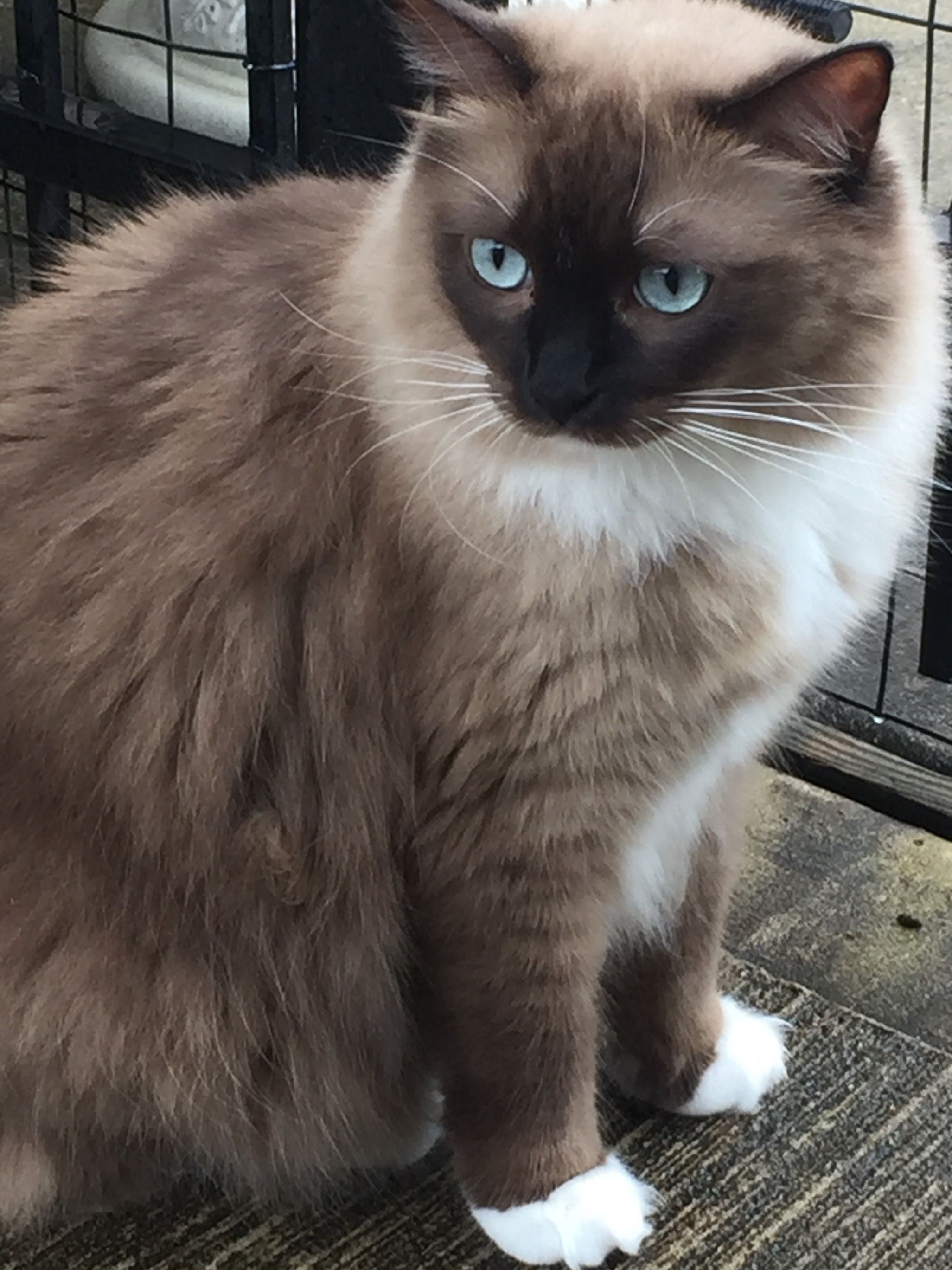 My Beautiful Kaylee Checking Out The Rain Seal Mink Mitted Ragdoll Cat Ragdoll Cat Cute Cats Ragdoll