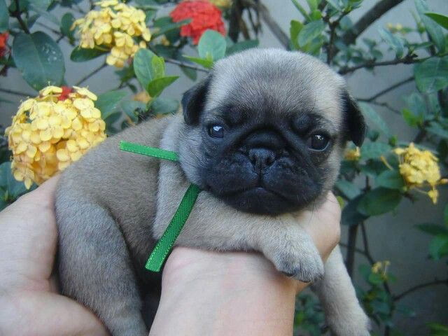 Do You Think Pug Puppies Have Any Idea How Cute They Are Cute