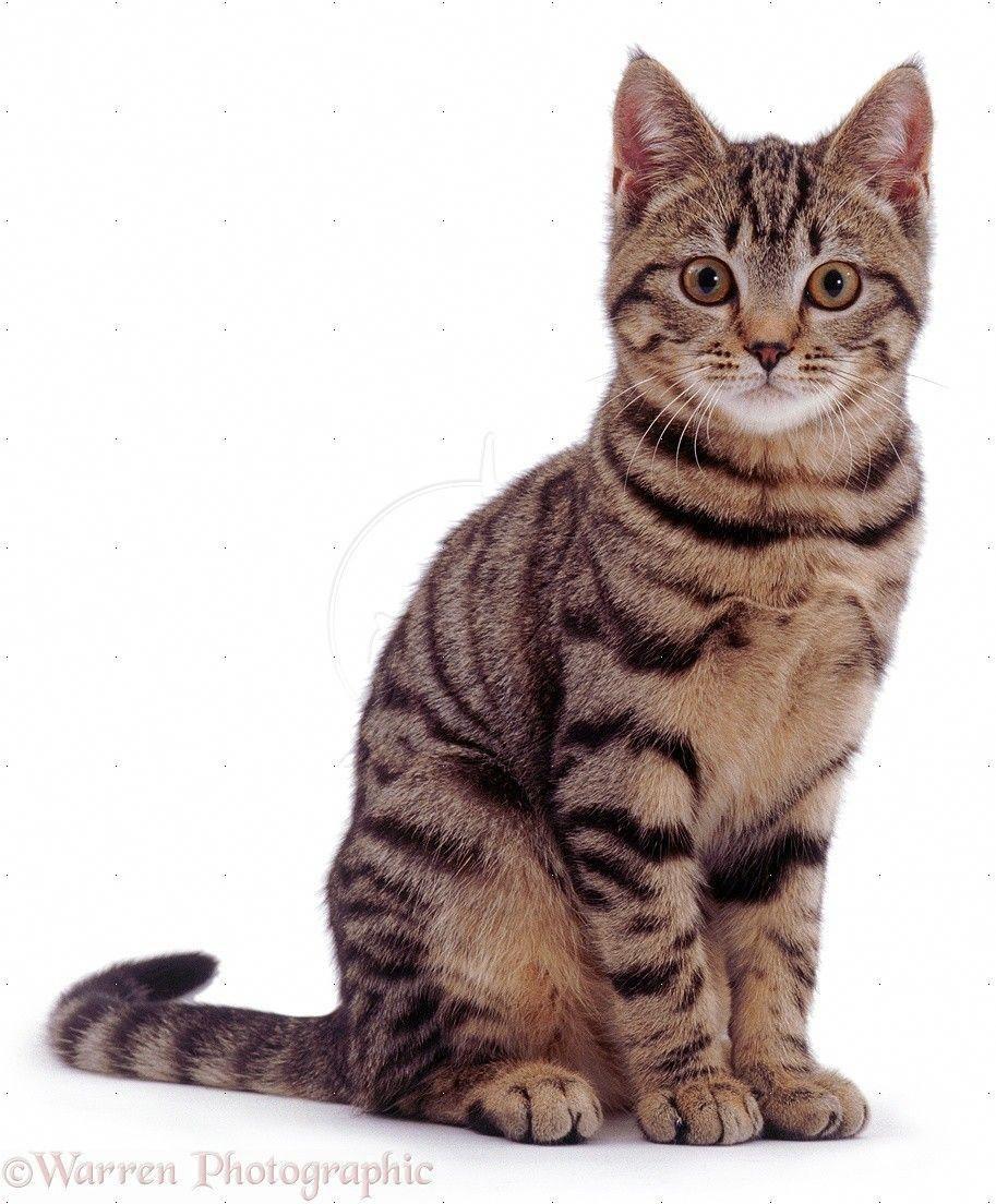 Cat Sitting Tabby Cat Sitting In 2020 Tabby Cat Cat Pose Cat