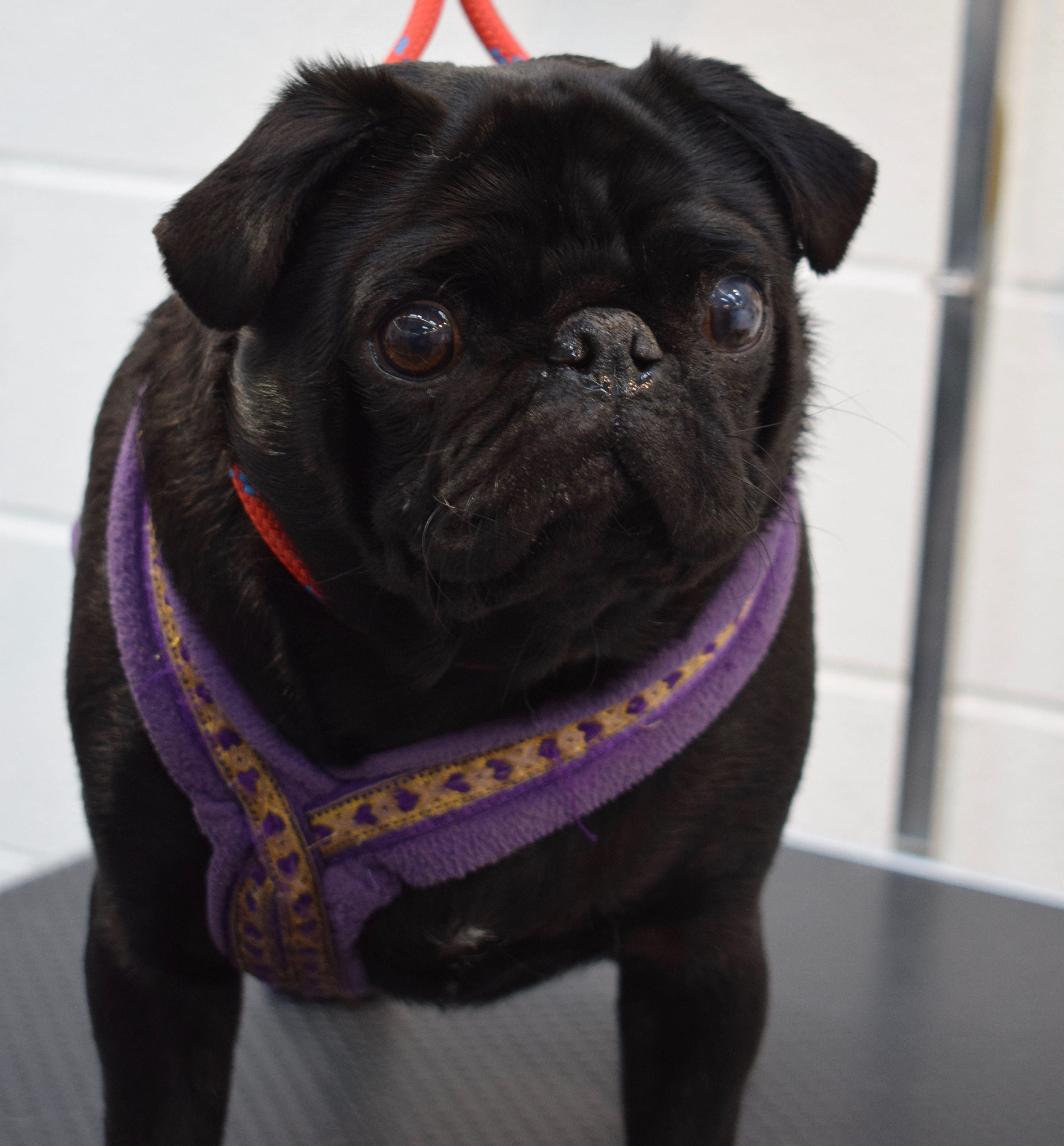 Ezra Pug Pugs Dog Grooming Luxury Spa