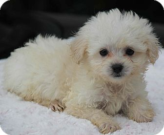 Yuba City Ca Poodle Miniature Pomeranian Mix Meet Millie A