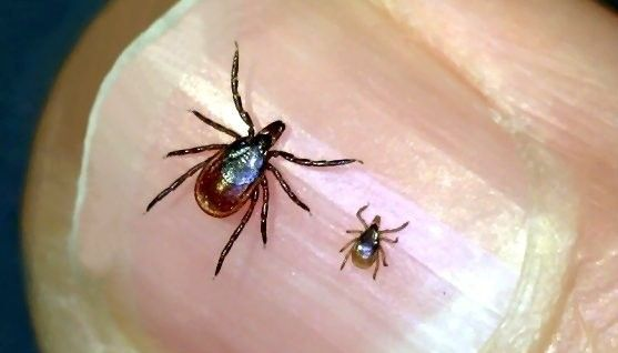 Learn about the many types of tick species in New England including