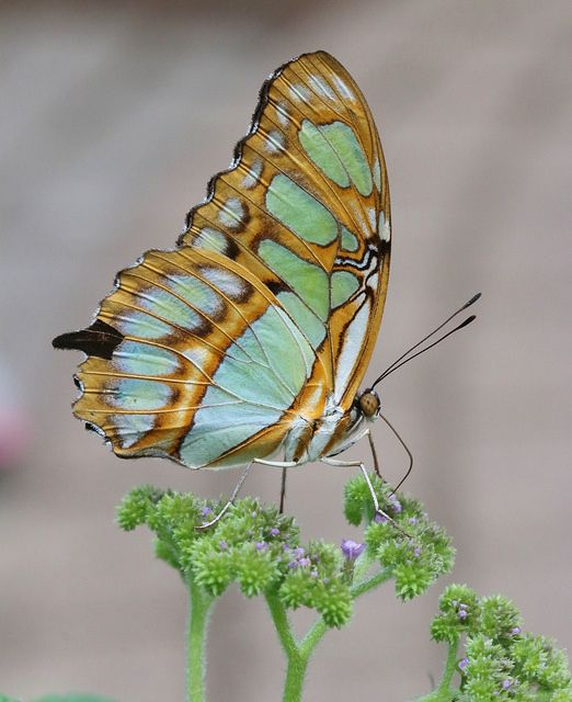 Malachite, oh how  beautiful ;-) I have butterfly around me all the time, I would love to see one like this one......
