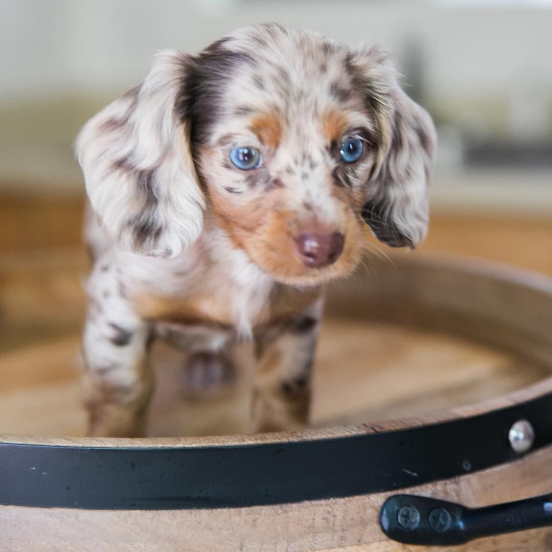 Cute Dapple Dachshund Puppy Dapple Dachshund Dapple Dachshund Puppy Dachshund Puppies