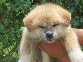 秋田犬 子犬検索 みんなの秋田犬ブリーダー 子犬 秋田犬 子犬 かわいい