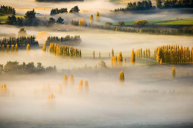 Golden poplar trees in Autumn peak above morning mist over farmland near Wanaka…
