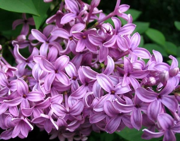 Lilac In The Language Of Flowers Lilac Symbolizes The First Emotions Of Love Magical Uses Lilac Drives Away Evil W Lilac Bushes Lilac Flowers Lilac Oils