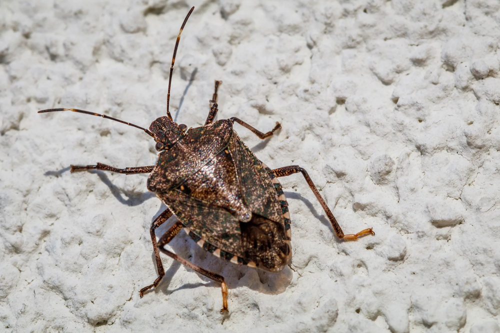 What to Do When Brown Marmorated Stink Bugs Invade Your