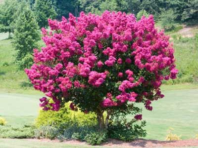 The E Myrtle Is A Flowering Tree With Multiple Large Showy Flower Panicles In Electric