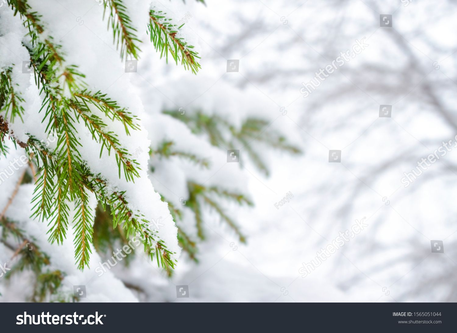 Christmas Tree Branches Under The Snow Snowy Spruce In The Winter Forest Winter Holidays And Walks In The Christmas Tree Branches Tree Branches Winter Forest
