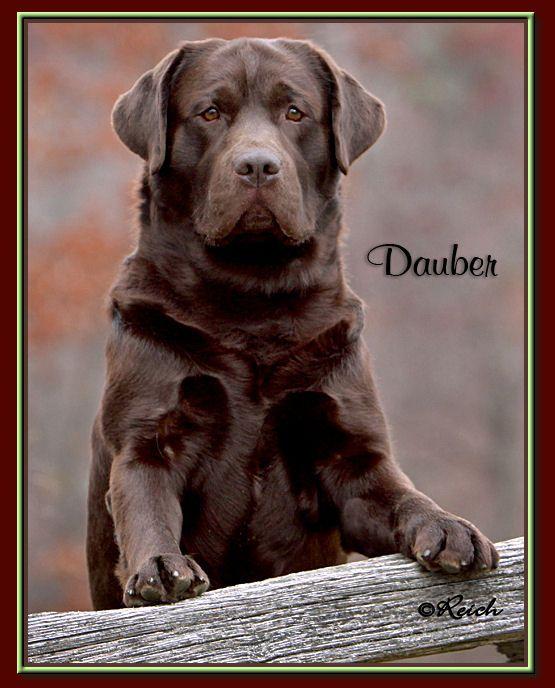 Pin By Anna Marbach On It S A Lab Thing Labrador Retriever Labrador Dog Labrador