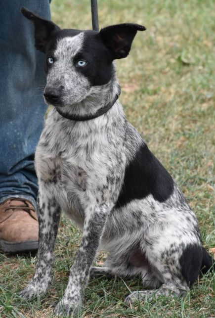 Adopt Whitewalker On Cattle Dog Puppy Poodle Puppy Blue Heeler Dogs