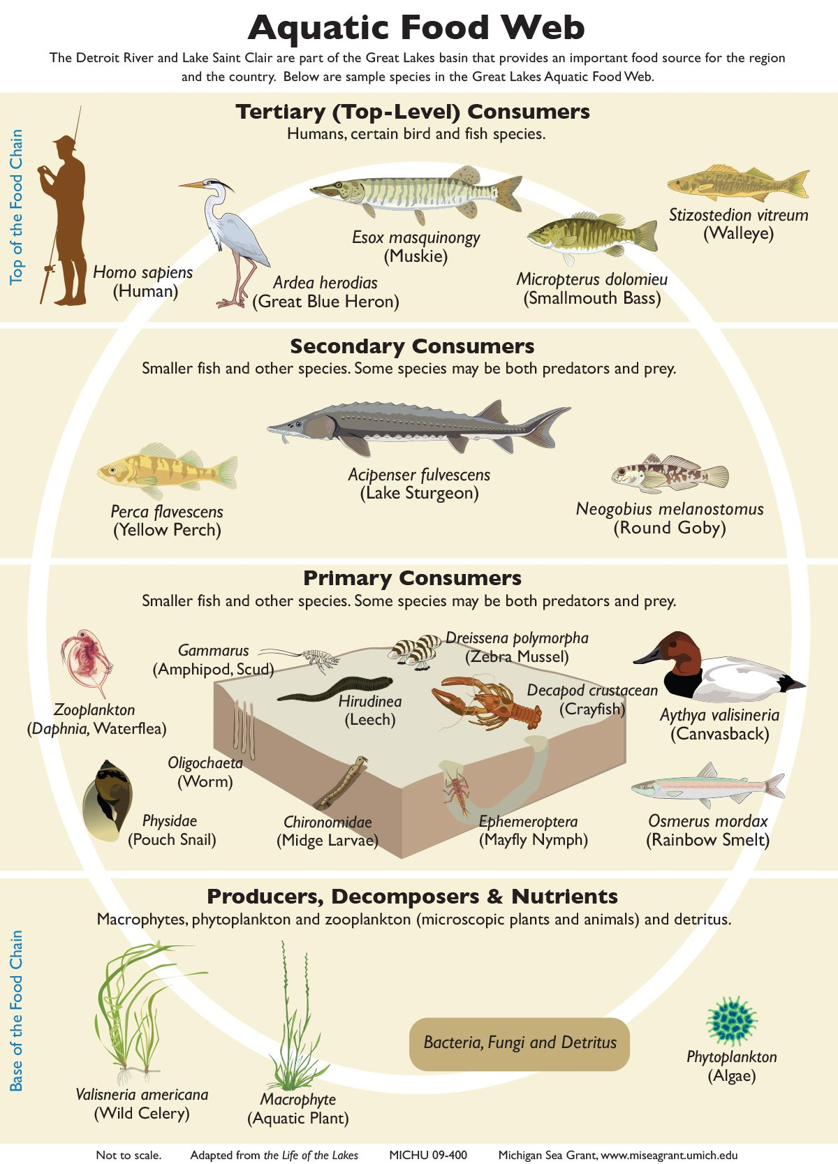Food Chains And Webs Teaching Great Lakes Science Food Web Food Chain Food Animals