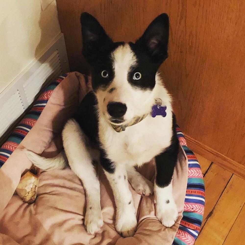 Adopt Sawyeradopted! on in 2020 Australian cattle dog