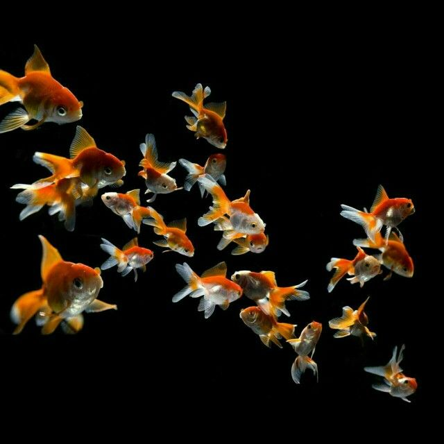Swimming Goldfish Wallpaper Goldfish Wallpaper Fish Wallpaper Pet Fish