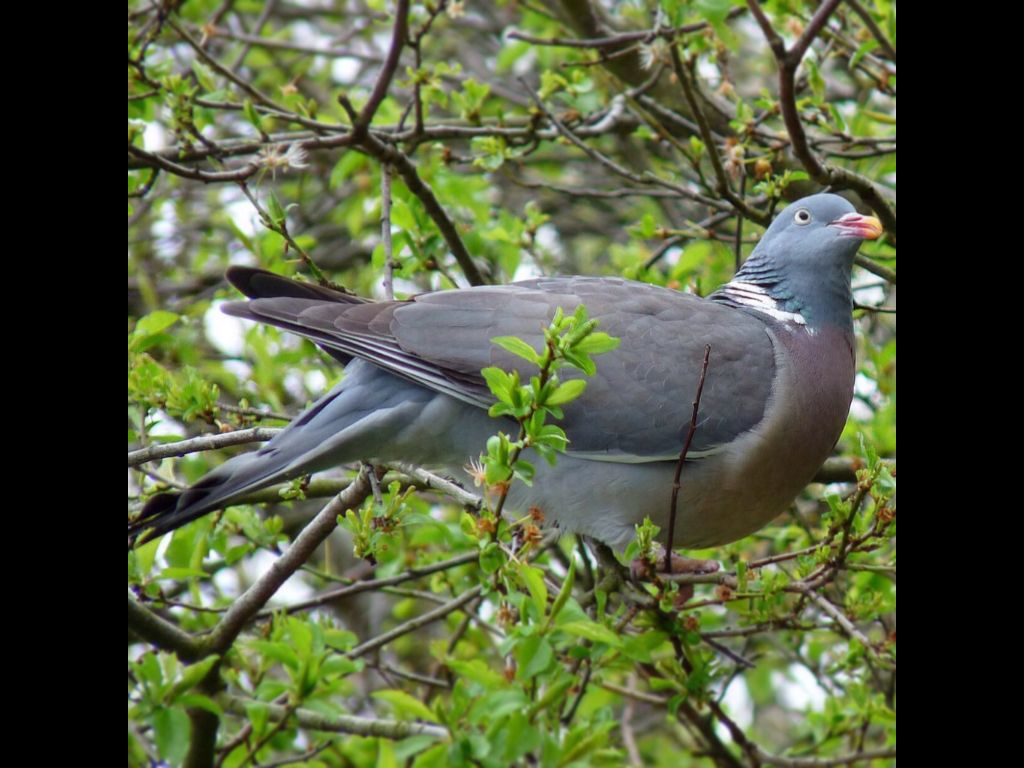 Amy Holland Pennell Wiki chunky pigeon | pigeon, animals