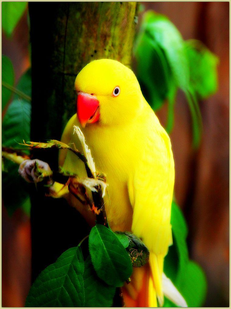 Beautiful Indian ring necked parakeet!