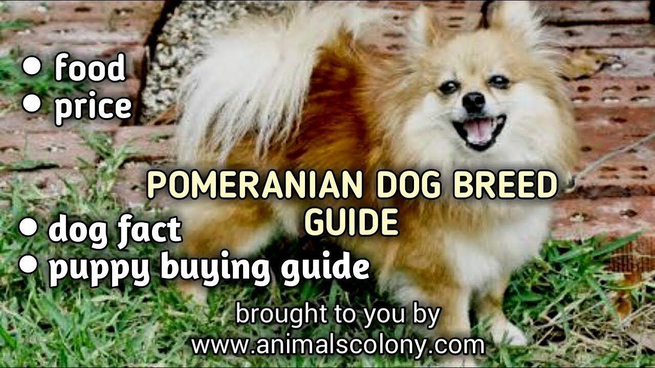 Pomeranian Dog Guide Ii Food Ii Puppy Buying Ii Vaccination Ii Price