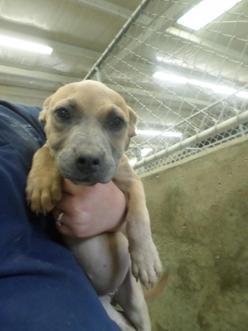 Urgent Puppy Meet 14 0012347 A Petfinder Adoptable Shepherd Dog