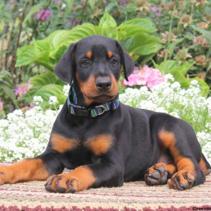 Doberman Pinscher Puppies For Sale Doberman Pinscher Puppy