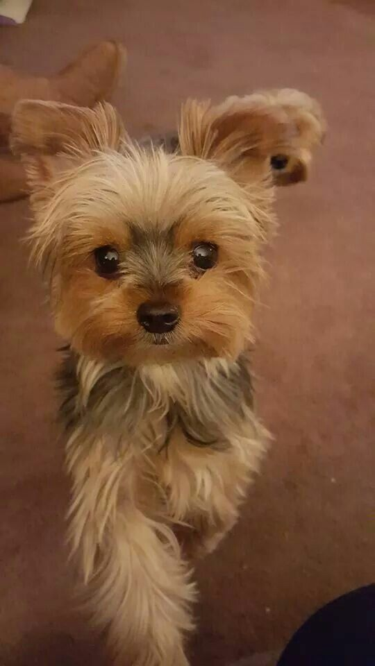 Pin By Tara Carr On Yorkies With Images Yorkshire Terrier