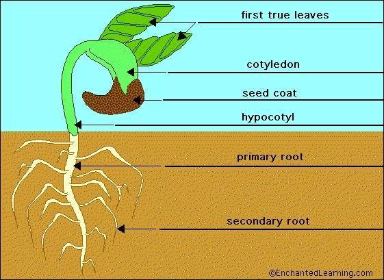 bean plant parts  Google Search   Science: Plants, Bulbs