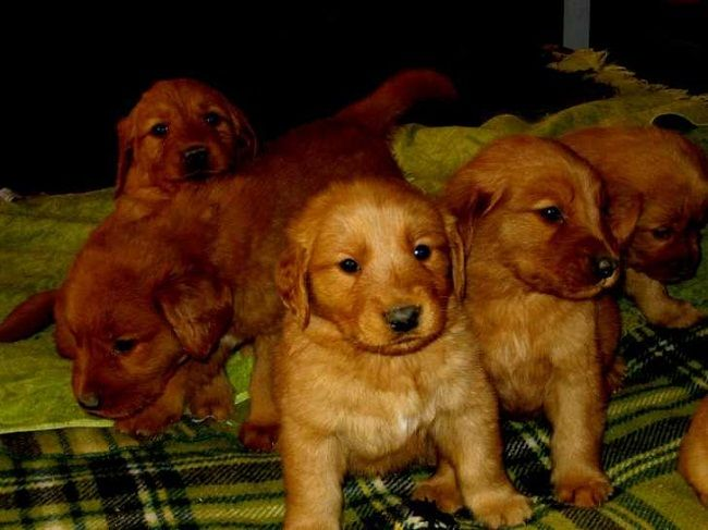 Dark Red Golden Retriever Puppies For Sale Dark Red Golden