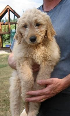 Adult golden doodle picture opinion