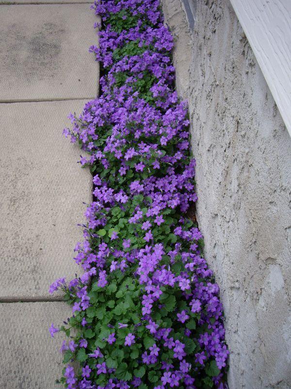 Purple Flowering Groundcover Campanula Portenschlagiana A