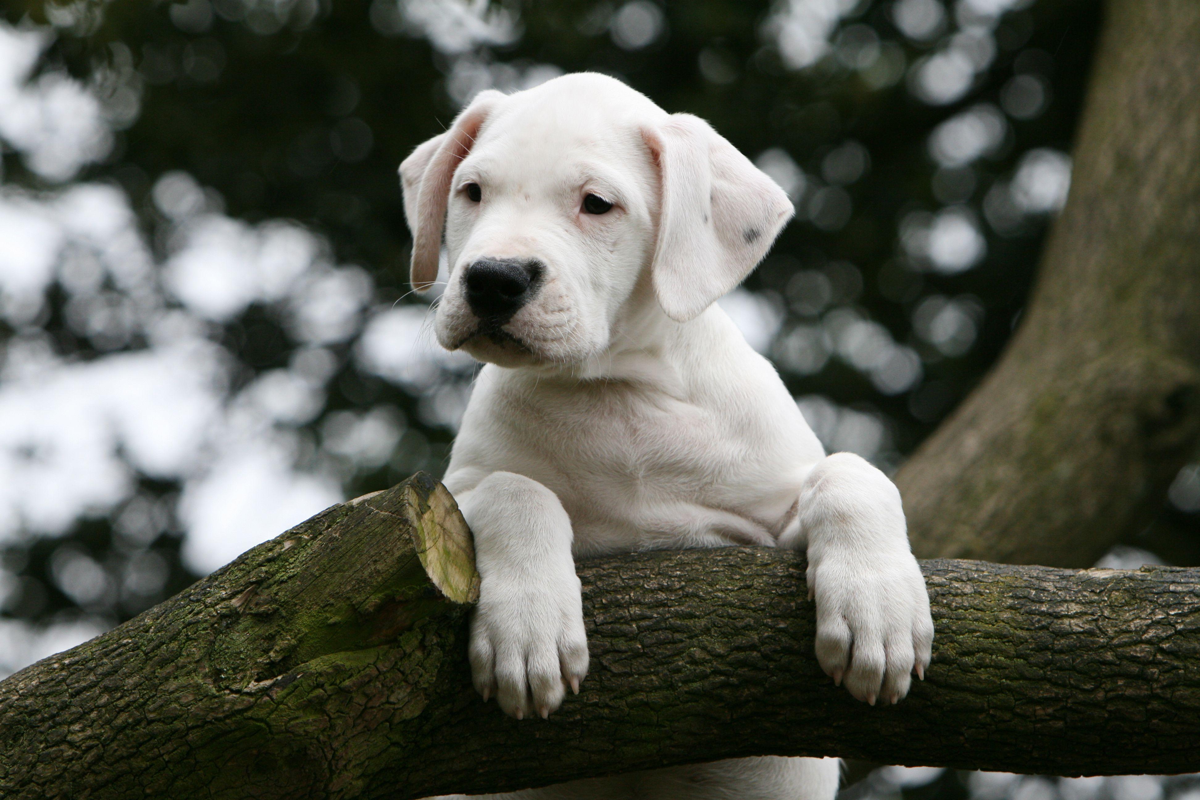 Dogo Argentino Solo Cane Dog Breeds Dog Breed Info Dog Argentino