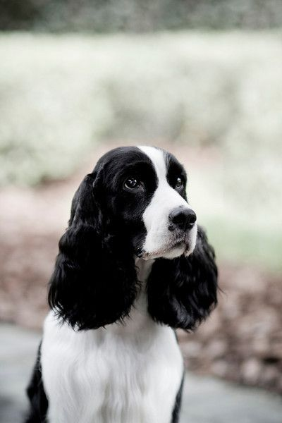 Portraits Springer Dog Springer Spaniel Puppies Spaniel Puppies