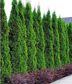 Thuja Smaragd Schneiden lebensbaum hecke thuja occidentalis wirkt auch unbeschnitten