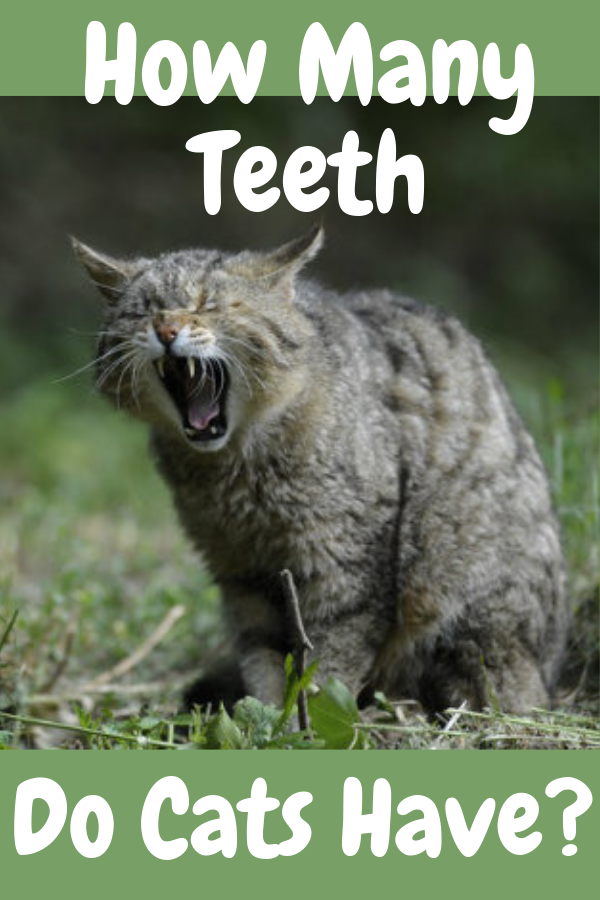 How Many Teeth Do Cats Have? Tabby cat, cute cat, grey cat