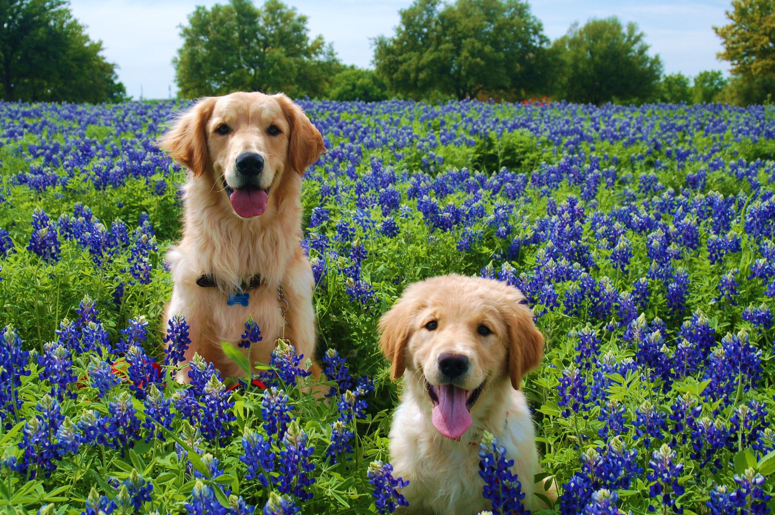 White Golden Retriever Puppies Texas Ideas