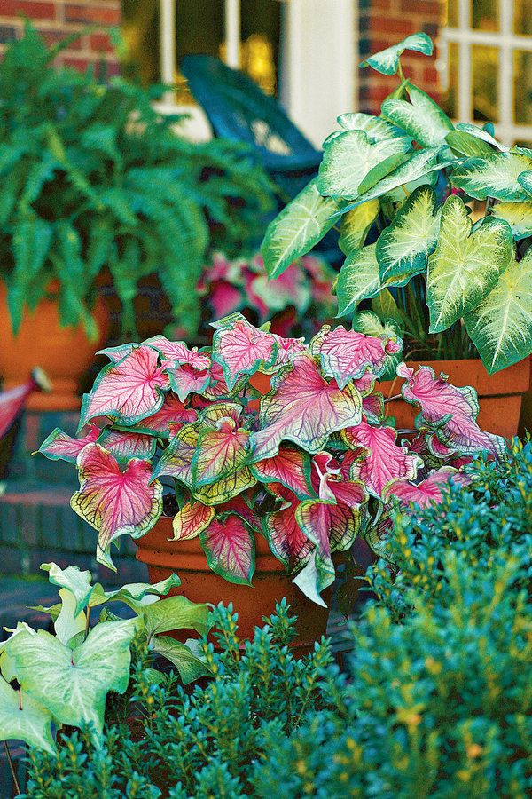 The colorful foliage of caladiums has tons of drama. Pots containing three different caladiums add color and variety to this entry in summer. From left to right: 'June Bride,' 'Pink Gem,' and 'Aaron' Caladiums 101