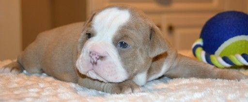 Litter Of 6 Bulldog Puppies For Sale In Louisville Ky Adn 21762