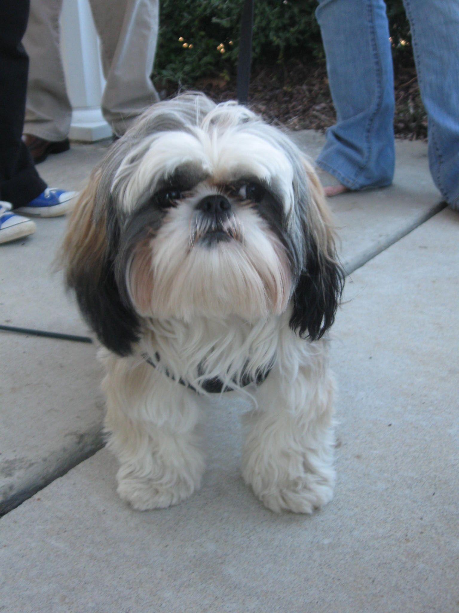 Gracie On Good Behavior Shih Tzu Cute Dogs