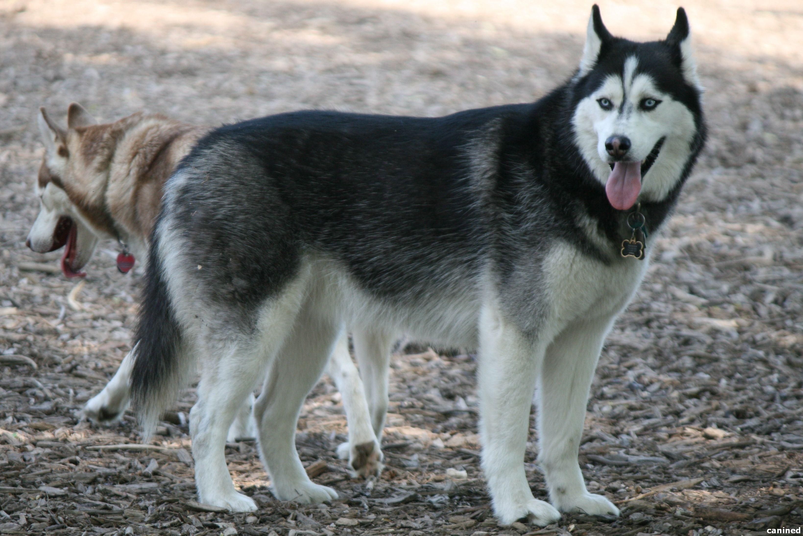 Wolf Like Black And White Husky Nice White Husky Dog White