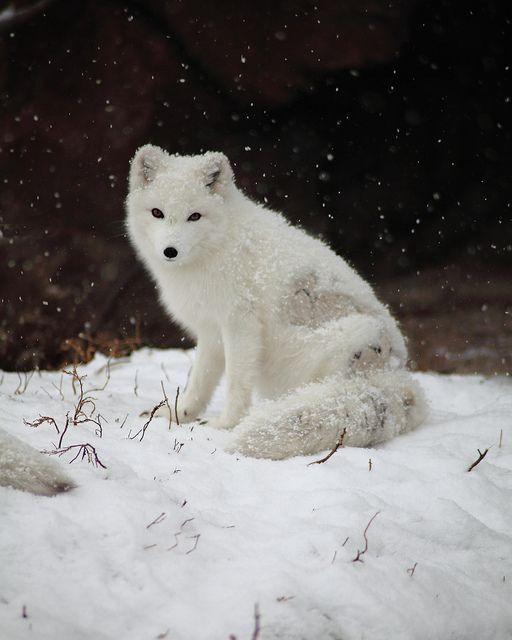 8b07a07ab5a Arctic Fox - Sitting In The Snow