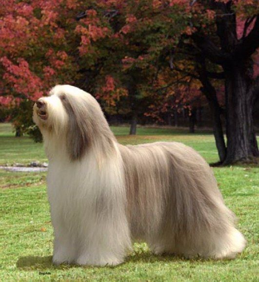 Bearded Collie Woof Bearded Collie Dog Breeds Dog Bearding