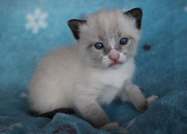 Cats Kittens Rehome Buy And Sell Preloved In 2020 Cats And Kittens Snowshoe Kittens Unusual Animals